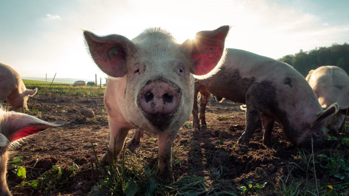 Pig looking at camera