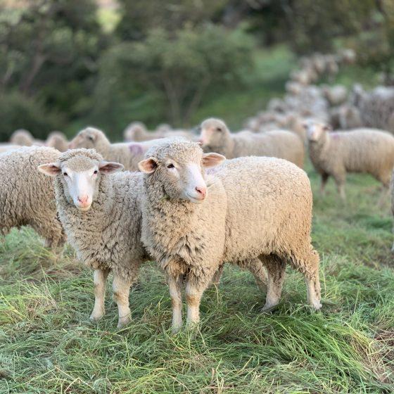 Herd of sheep standing on grass