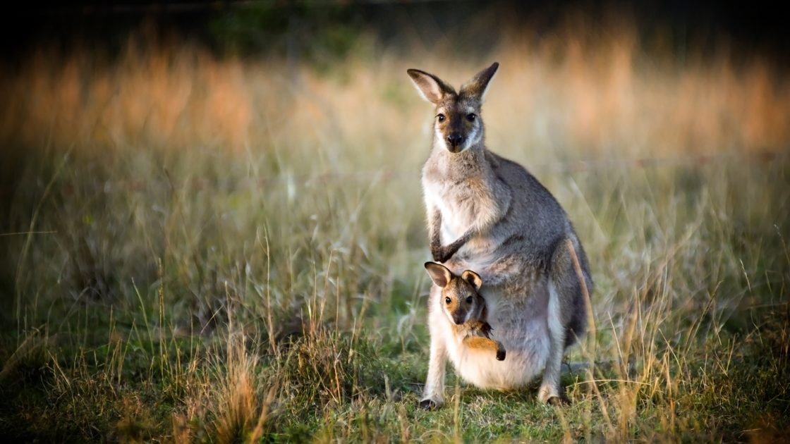 Macropod with joey